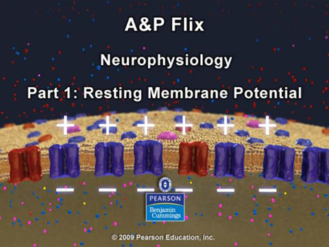 Screenshot of Resting Membrane Potential animation