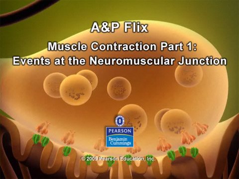 Screenshot of Events at the Neuromuscular Junction animation