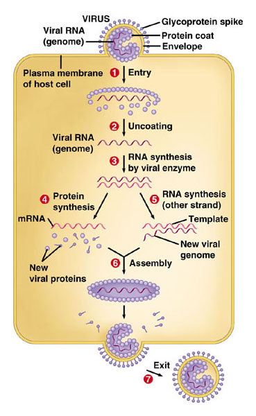 Image 10.18B - The reproductive cycle of an enveloped virus